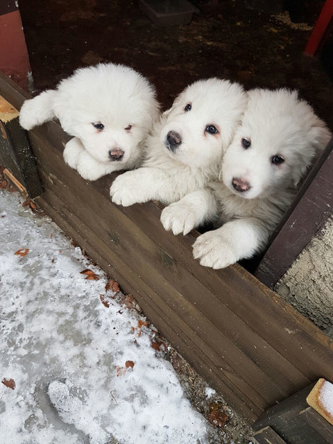 İtalya'daki çığ felaketinden yavru köpekler kurtarıldı