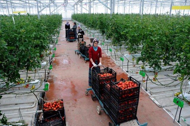 Van'da eksi 40 derecede organik domates üretiliyor