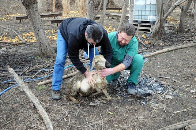 Mersin'de bir deri bir kemik kalan koyunlar veterineri üzdü