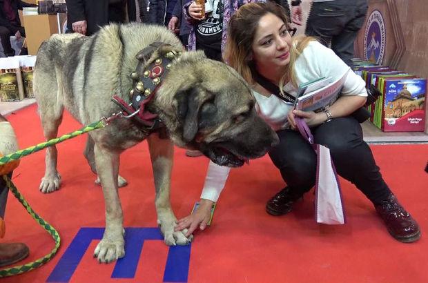 25 bin TL teklif edilen Aksaray Malaklısı damızlık köpeği satmadı