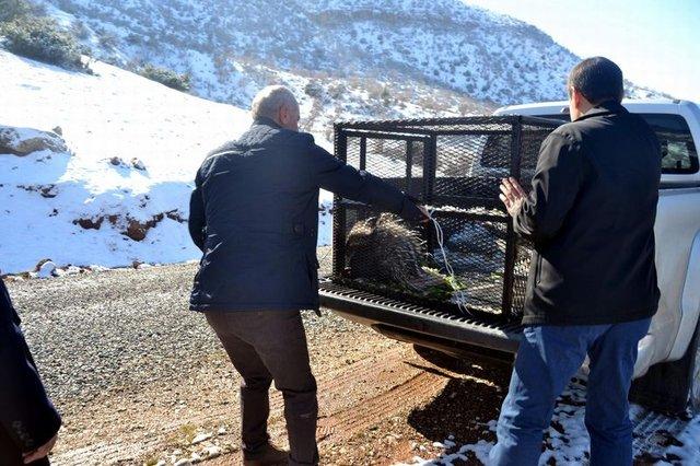Siirt'te satılmak istenen oklu kirpiyi zabıta kurtardı