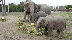 Türkiye'de doğan ilk fil olan İzmir 6 yaşında