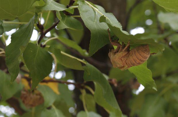 Cırcır böceğinin sesini bir daha duyamayabiliriz!