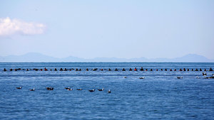 Yeni Zelanda'da balinaları kurtarmak için denize insan zinciri oluşturdular