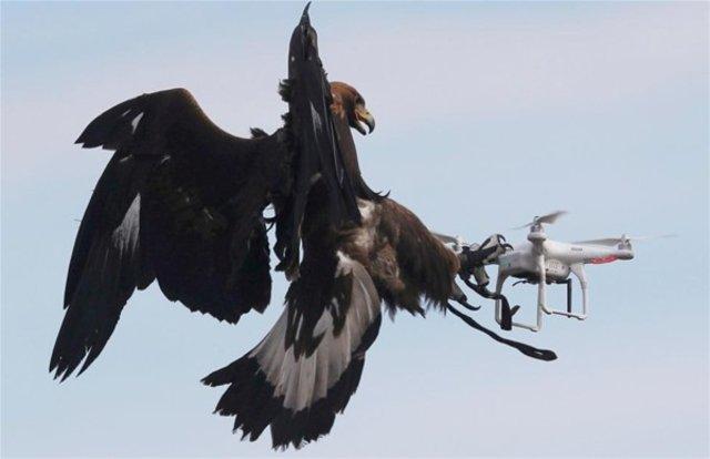 Drone avcısı kartal!