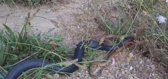 Yılanların ölümcül kavgası