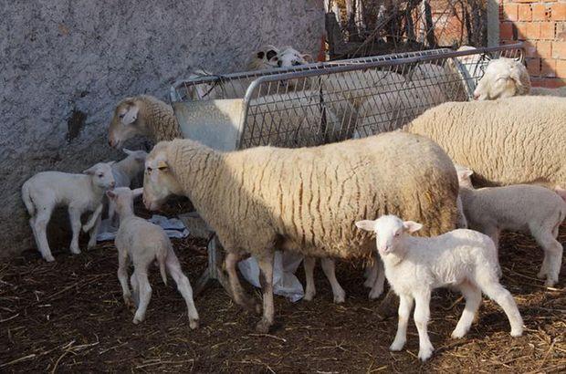 """""""Devlet desteğiyle çiftlik kuracağız"""" dediler, 500 koyun ile kayıplara karıştılar"""