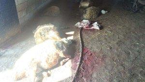 Siverek'te 90 koyun bilinmeyen bir nedenle öldü