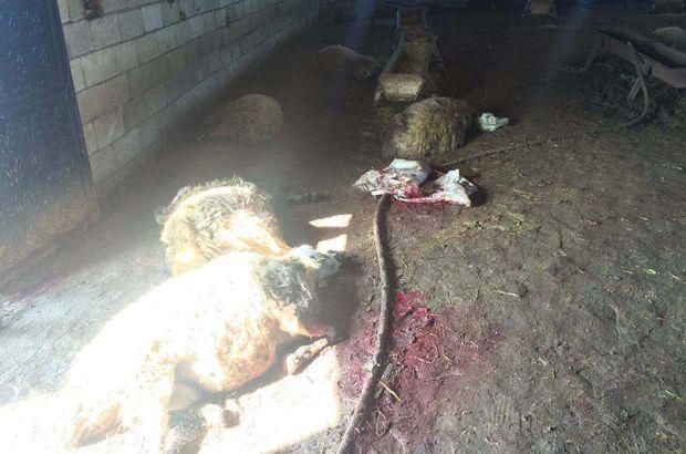 90 koyun aynı anda neden öldü?