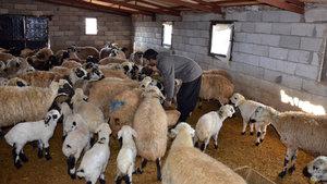 Siverek'te 90 koyunun aynı anda öldüğü mahallede inceleme!