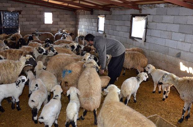 90 koyunun aynı anda öldüğü mahallede inceleme!
