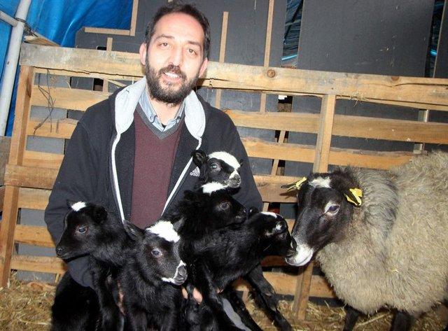 Ukrayna'dan getirdiği koyunlar beşer beşer doğurdu
