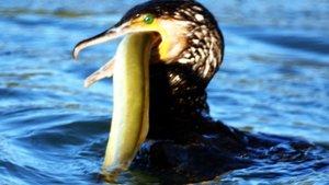 Bodrum'da karabatak kuşu, yılan balığını 4 dakikada yuttu