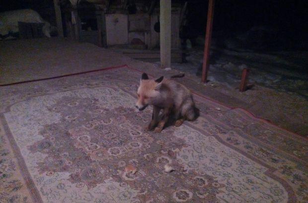 Ardahan'da aç kalan tilki pencereye burnuyla dokunarak yiyecek istiyor