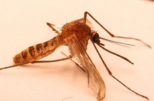ABD'de sivrisinek aşısı için gönüllüler aranıyor
