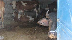 Diyarbakır Sur'un bazı köylerinde vatandaşlar hayvanlarını ahıra hapsediyor