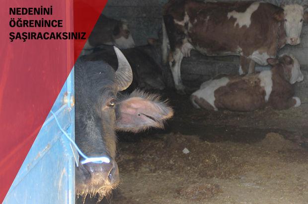 Diyarbakır Sur'un bazı köylerinde vatandaşlar kan davası olmasın diye hayvanlarını ahıra hapsediyor