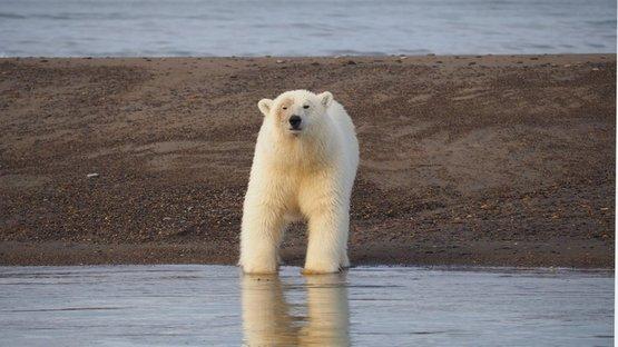Kutup ayısı turizmi