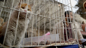 El Bab'da kurtarılan 'Barış' isimli kediye yuva aranıyor