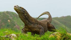Komodo ejderinin kanı süper bakterilere karşı kullanılabilir!