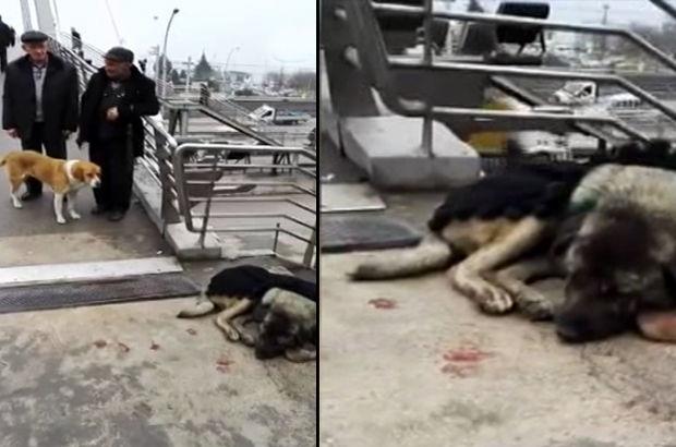Yaralı köpeğin başından bir an olsun ayrılmayan köpek