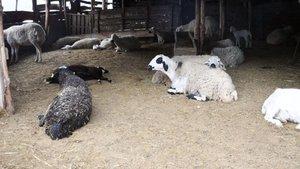 Sorgun'da telef olan 40 koyunda veba şüphesi