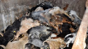 Manisa'da gübre yiyen 120'ye yakın keçi zehirlenerek öldü