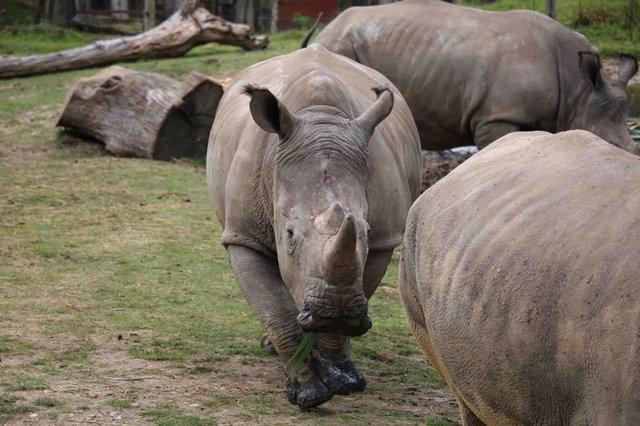 Fransa'daki Thoiry Hayvanat Bahçesi'nde bir gergedan avcılar tarafından öldürüldü