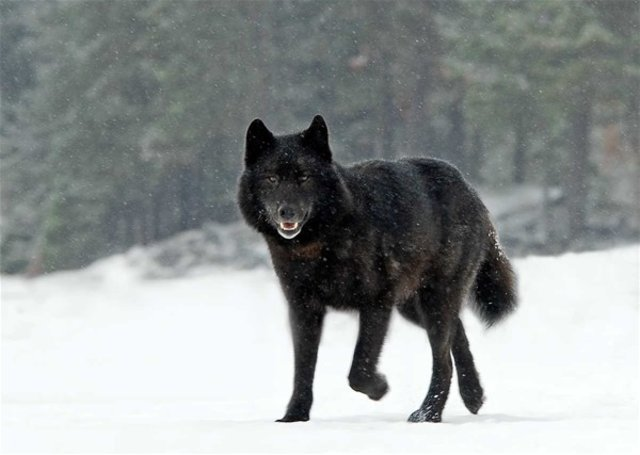 Vahşi kurtla köpek karşılaşırsa