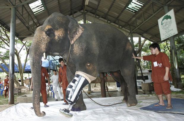 Tayland'daki dünyanın ilk fil hastanesi iflasın eşiğinde!
