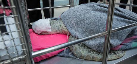 Midesinden 5 kilo bozuk para çıkarılan kaplumbağa öldü