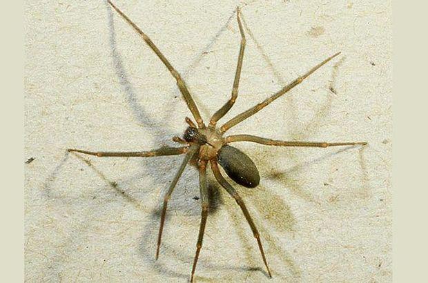 Örümcek zehri