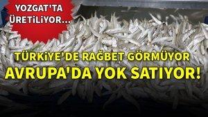 Edirne'de birçok aile geçimini kurbağa avcılığıyla sağlıyor