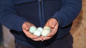 Mavi yumurta isteyene 2 ay sonraya gün veriyor