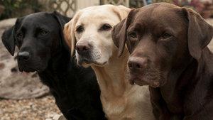 Köpekler, kan şekeri düşmek üzere olan diyabetlileri uyaracak!