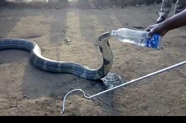 Susuz kalan kobra, pet şişeden dakikalarca su içti