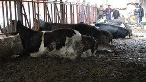 Burdur'da elektrik akımına kapılan büyükbaş hayvanlar öldü
