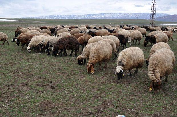 Çoban maaşları çıldırdı, duyunca inanamayacaksınız