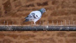 Sivas'ta kuşlar konmasın diye böyle önlem almışlar