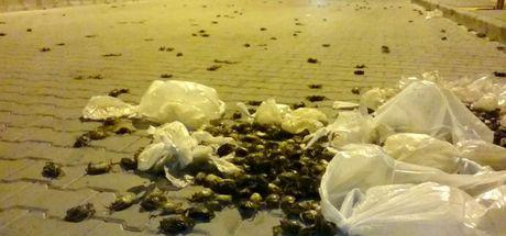 Aydın Söke'de sokağı yengeçler bastı