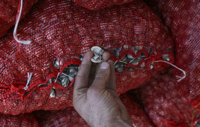 Avrupa mutfağının vazgeçilmezi beyaz kum midyesi Türkiye'den gönderiliyor