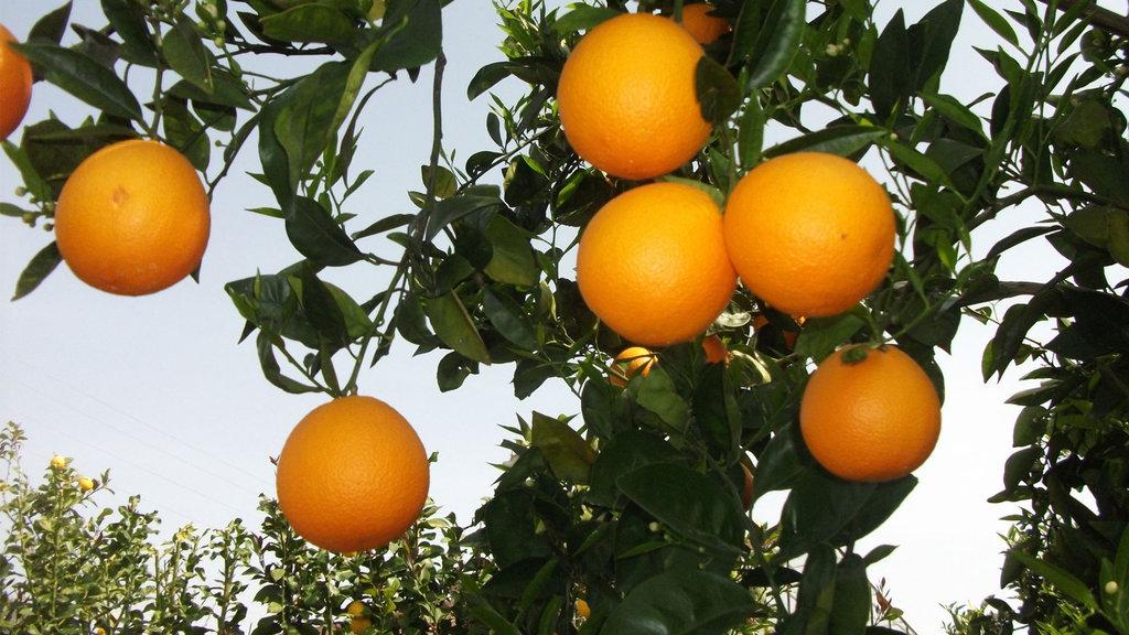 Domatesten sonra şimdi de portakal