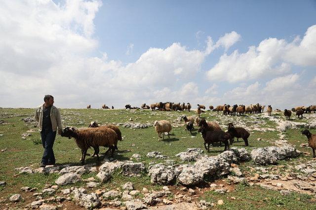 Hayvancılık sektörüne Suudi Arabistan ilgisi