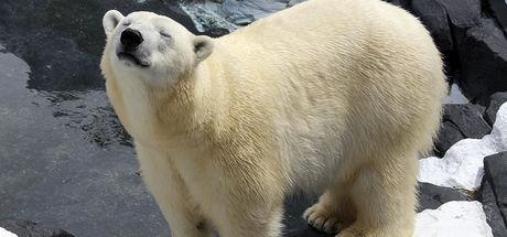 ABD'de 20 yıllık eşinden ayrılan kutup ayısı birkaç hafta sonra öldü!