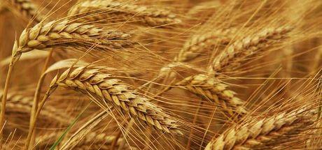 Rusya'nın Türkiye'ye buğday ihracatı arttı