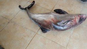 Düzce'de 10 yunus balığı karaya vurdu