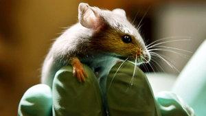 Bilim insanları dünyada ilk kez fare kafası nakli yaptı