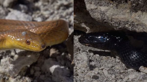 Başka yılan sandı, kendini yedi