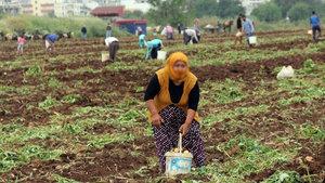 Adana'da patates başakçıları polise rağmen tarladan çıkmadı