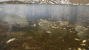 Van'da telef olan yüzlerce balık kıyıya vurdu